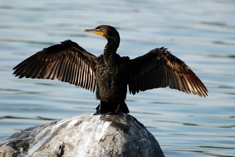 Der Kormoran sitzt gerne auf Bojen oder Holzpfählen und trocknet sein Federkleid mit charakteristisch ausgestreckten Flügeln (Foto: Pixabay).
